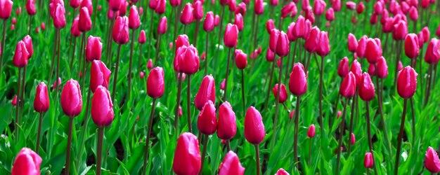 Розовое поле тюльпанов