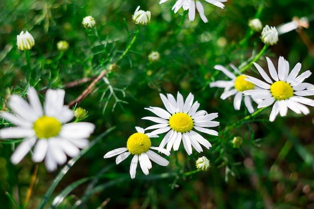 Зеленая трава и маленькие ромашки в природе