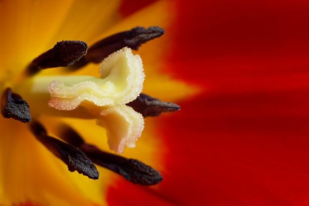柔らかい柔らかいチューリップの花の雌しべと雄しべのマクロ写真は、チューリップの芽、赤と黄色の花びらの写真をクローズアップ。