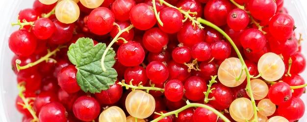 赤と白の熟したジューシーなスグリのクローズアップ写真。夏の収穫、健康的なビタミン。ワイドパノラマバナー