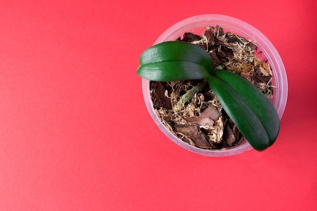 ピンクの背景に若い蘭の植物と鍋。ホームプラント