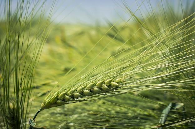 重い穀物で詰まった緑の大麦の穂軸