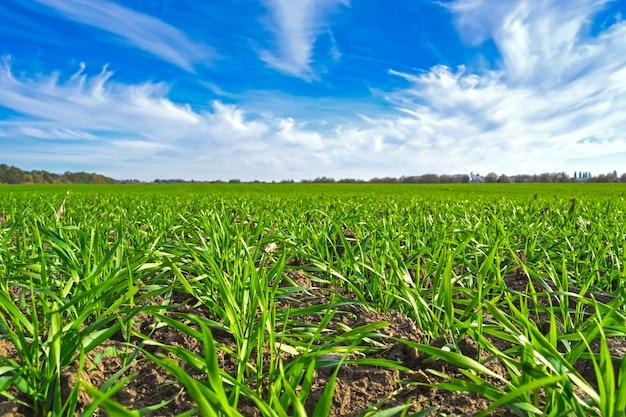 雲と青空の下のフィールドに湧き出る冬小麦の行