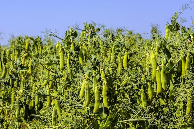 純粋な晴れた空の背景に、フィールドで、植物のエンドウ豆