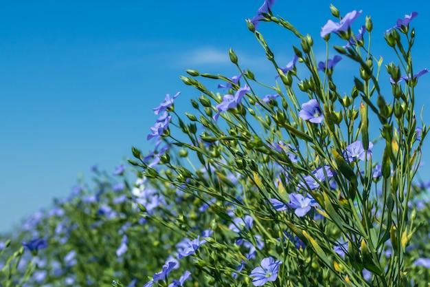 開花期、畑の亜麻の若い植物、収穫中、空に対して。