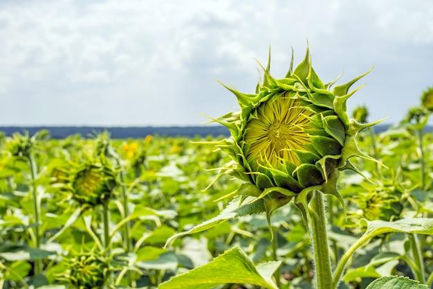 害虫、雑草、病気から保護されたヒマワリ植物の偶数列の畑