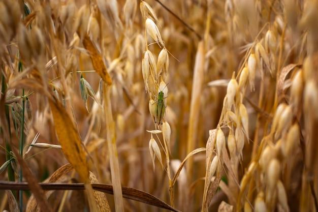 空に対してフィールドで熟したオート麦