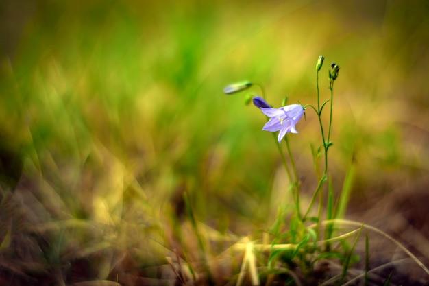 草原の鐘花