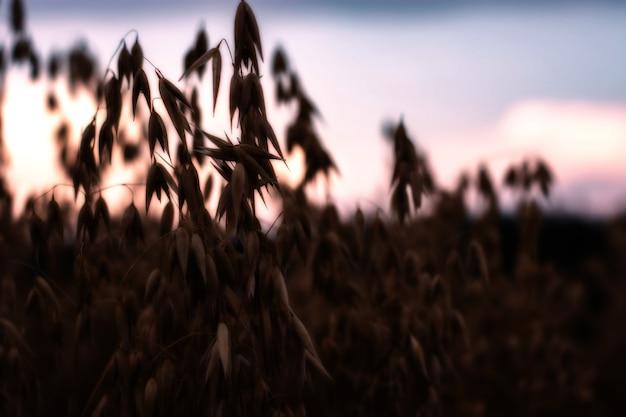 日没時のフィールドで熟したオート麦