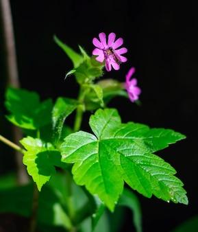 Москит собирает воду с розового цветка ранней весной.