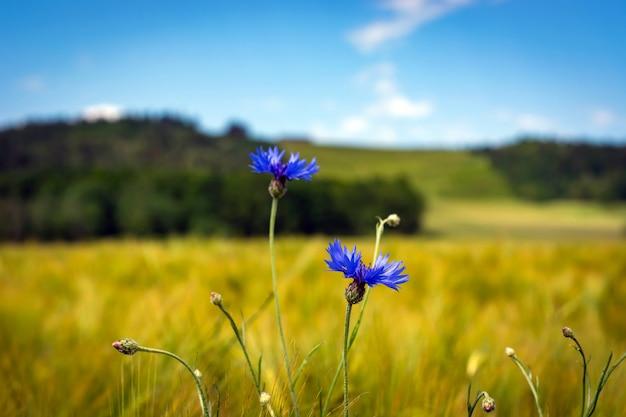 ヤグルマギクと他の野生の花のフィールド。