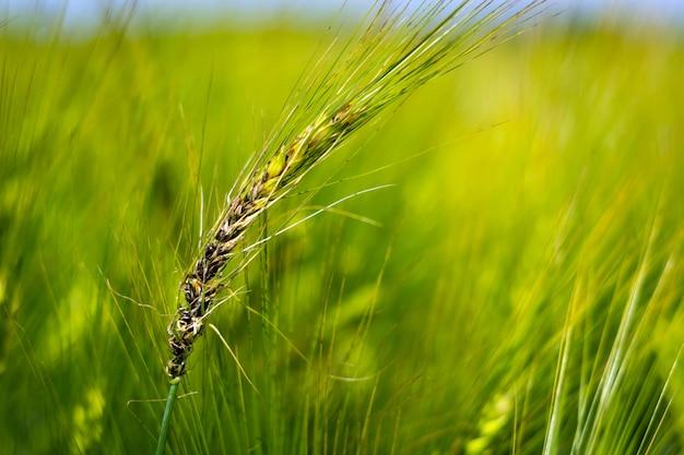 醸造大麦の耳の真菌性疾患。