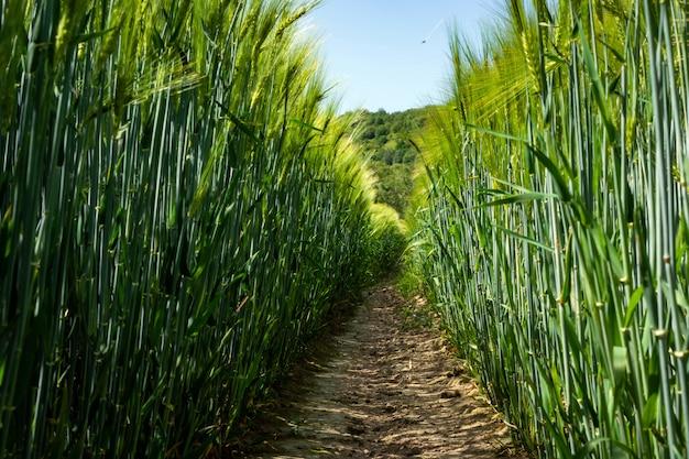 フィールドでの緑の醸造大麦の穂。
