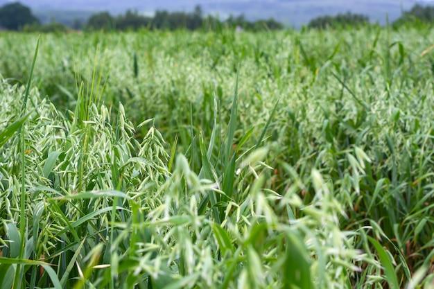 日当たりの良い夏の日にフィールドで緑の麦