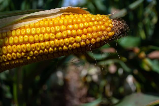 Кукуруза в поле в период созревания