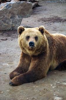 Бурый медведь с синдромом дауна в лесу