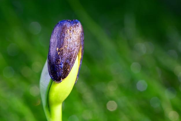 緑の野原の背景に種子からヒマワリの芽