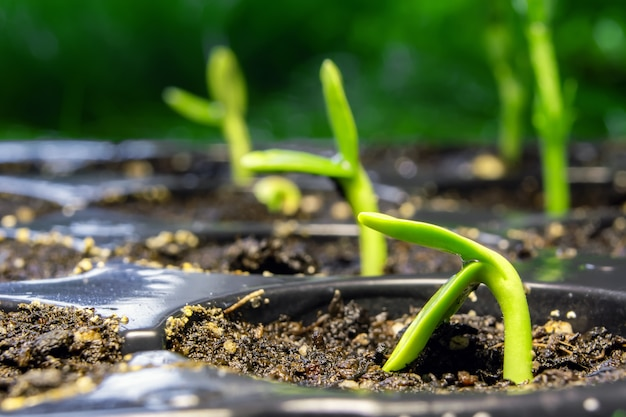 緑の野原の種子からヒマワリの芽
