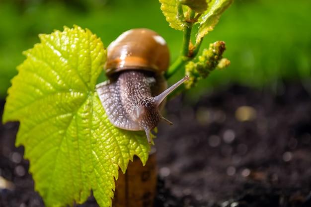 Виноградная улитка ползет по молодому побегу винограда