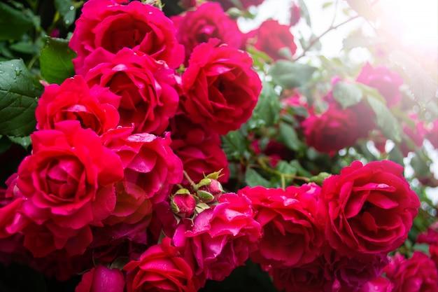 Розы на кустах на солнце