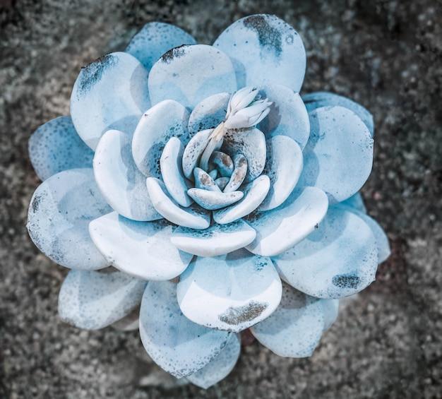 多肉植物のカラフルな天然ロゼットパターンの抽象的なクローズアップ
