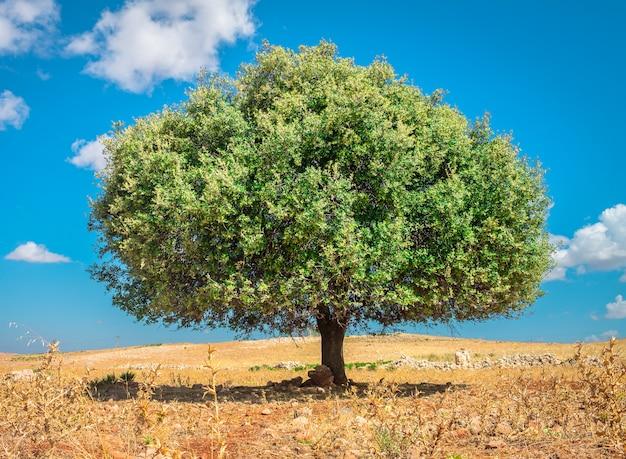 モロッコの太陽の下でアルガンの木