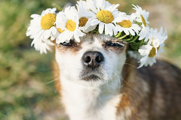カモミールの花輪を頭に持ったかわいい犬チワワが目を閉じて草原の太陽の下に座っています。太陽を楽しむ犬。犬がなごむ
