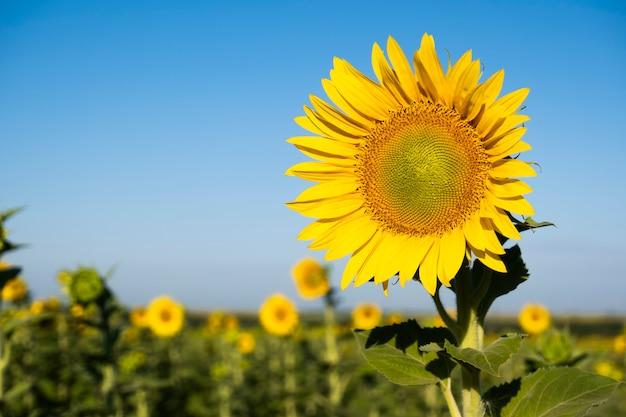 フィールドのヒマワリの写真。黄色い花のクローズアップ。