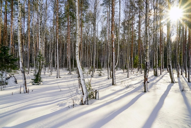 В зимнем лесу с заснеженными деревьями в яркий солнечный день
