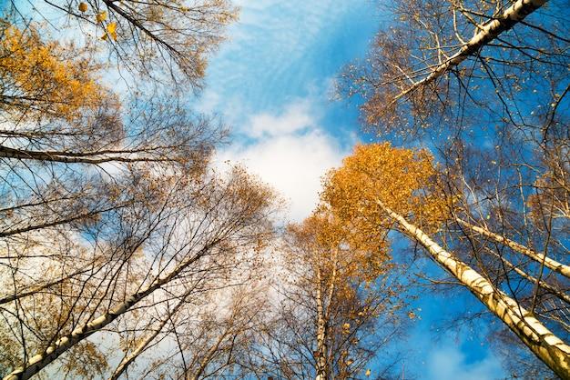 秋の日当たりの良い森の美しい黄色の木