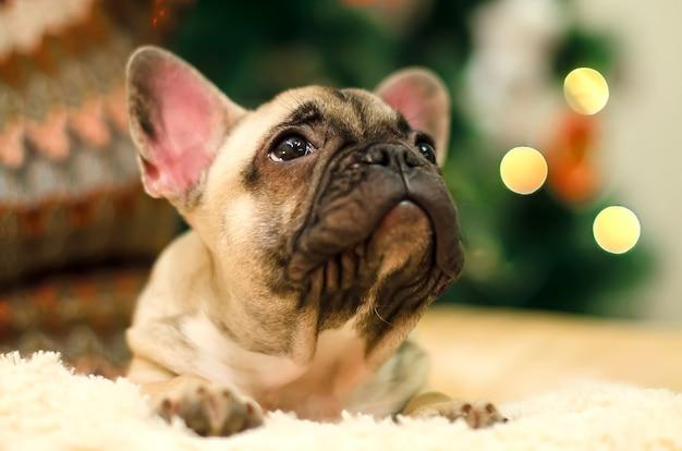 かわいいブルドッグの子犬は枕で休んでいます。新年。クリスマス