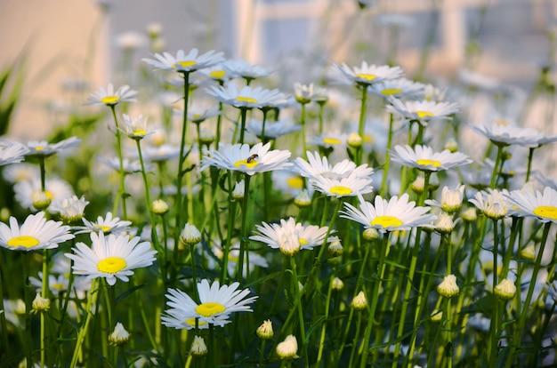 カモミールの花の牧草地の夏の風景。