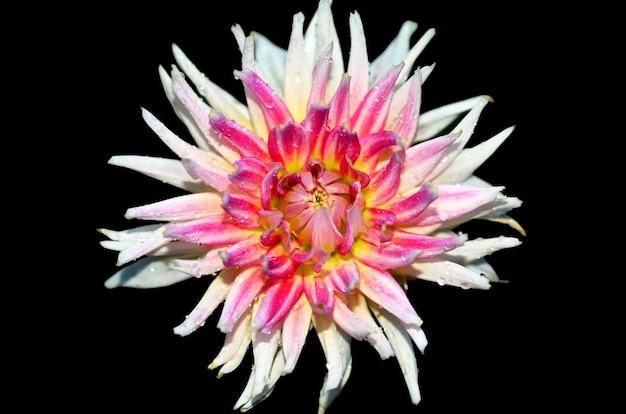 黒の背景に分離された美しい菊の花。