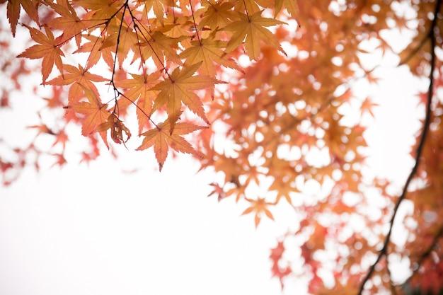 赤いカエデの葉、日本の秋
