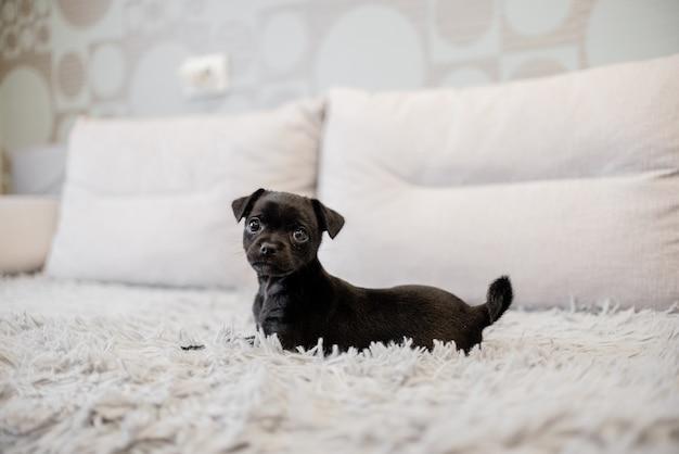 黒い子犬のおもちゃのテリアがソファーに座っていると遊ぶ