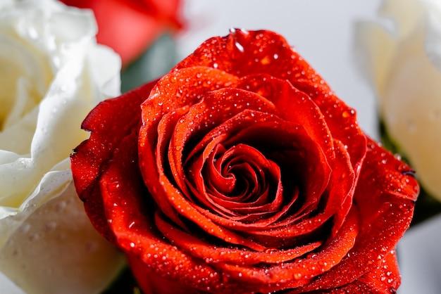 輝く水の壁紙と赤と白のバラ。