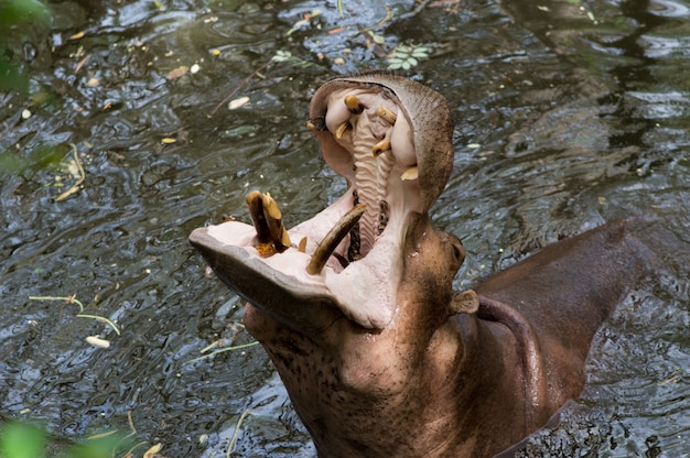 動物園で食べ物を求めている開いた蛾で水中のカバ。