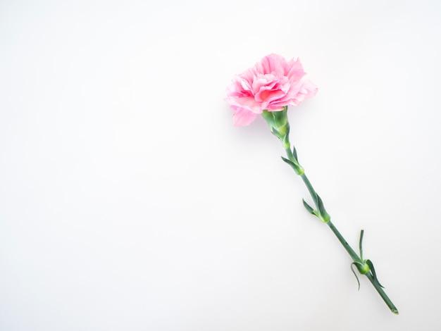 Один розовый цветок гвоздики на белом