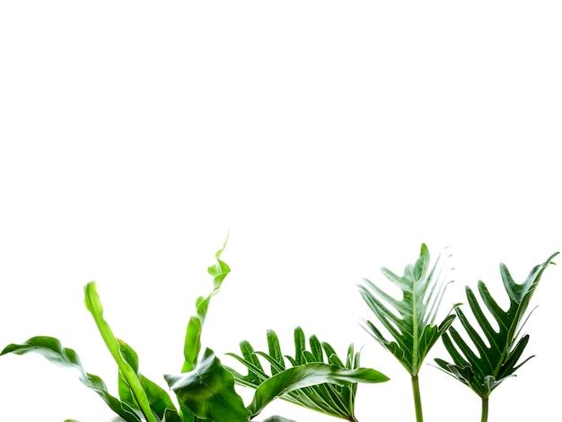 Акварель тропический филодендрон ксанаду лист