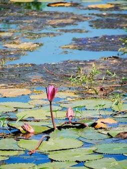 美しい自然ピンクの睡蓮の花や蓮の花と蓮の植物、湖や池の水面に蓮の葉