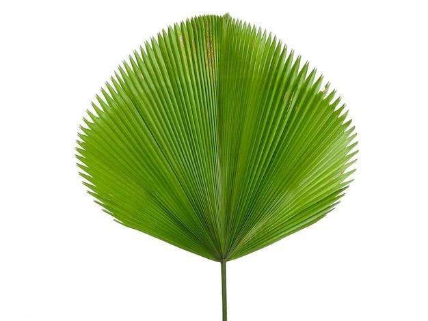 白で隔離される単一のヤシの葉
