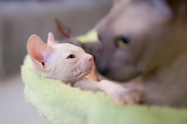 Спящая белая двухмесячная кошка донской сфинкс со своей матерью