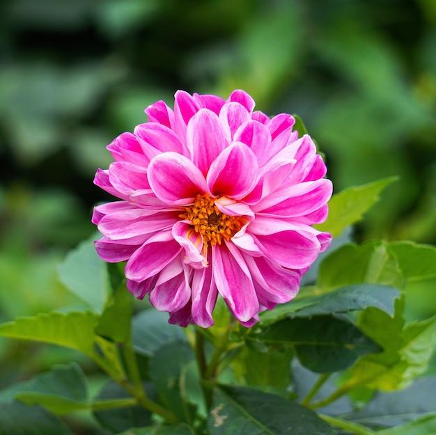 庭のロマンチックなピンクの花植物