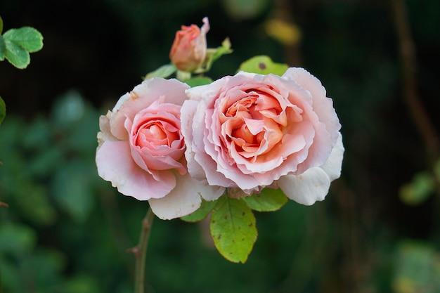ロマンチックなピンクのバラ