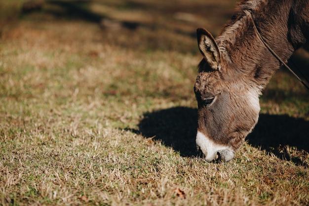 屋外で草を食べるロバクローズアップ