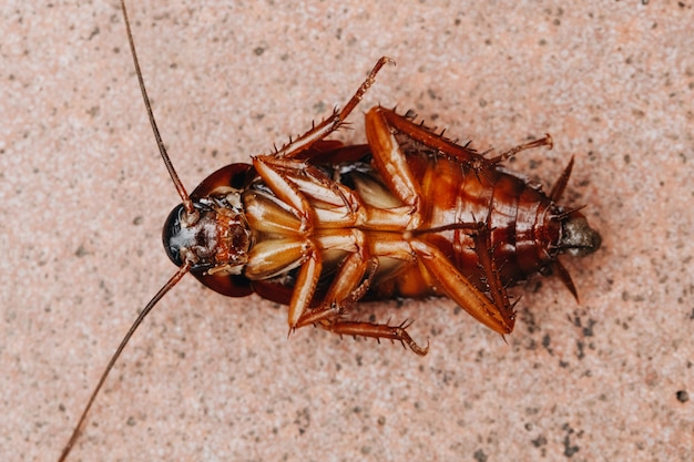 ゴキブリは木の床で死んで横たわっている、死んだゴキブリ、顔を閉じる、ゴキブリを閉じる