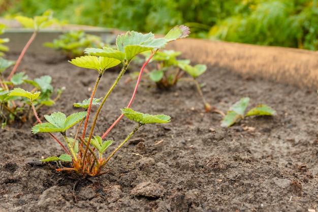 Сортовая земляника в рядах в летнем саду