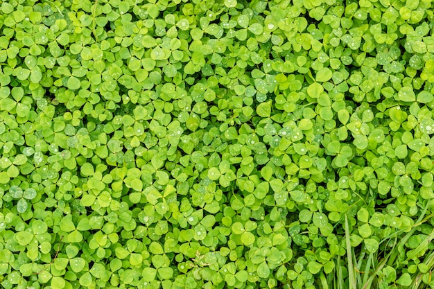 グリーンクローバー。シャムロックの葉の背景やテクスチャ、露の滴。