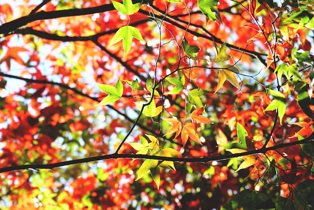 カエデの木の色鮮やかな季節の秋の緑と赤のカエデの葉