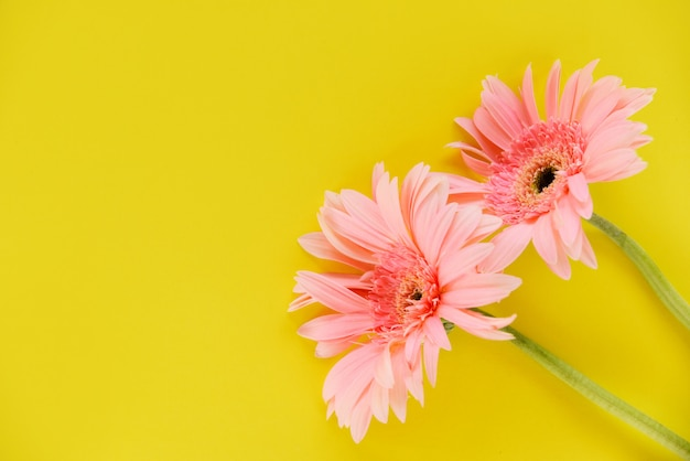 Гербера розовая цветок летняя красивая цветущая на желтом